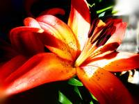 or lily bright_edited