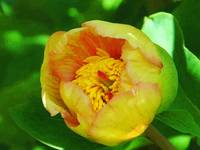 yellow tulip oil
