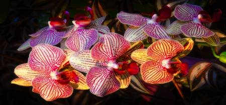 striped orchids 4