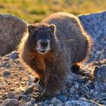 """Marmot #2"" by justnaturephotography"