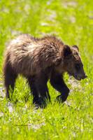 _MG_2783.Togwotee.Grizzly5