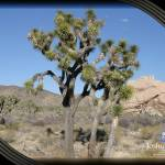 """joshua tree 4"" by sandytravel"