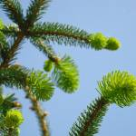 """Conifer Pine Tree Art prints Blue Sky Forest Lands"" by BasleeTroutman"