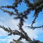 """Conifer Pine Trees Forest Blue Sky art Landscapes"" by BasleeTroutman"