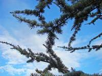 Conifer Pine Trees Forest Blue Sky art Landscapes