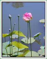 Pink Lily Pad