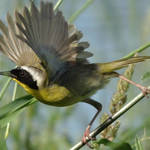 """Common Yellow Throat"" by swaby"