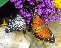 Glassy Tiger & Red Lacewing Butterflies