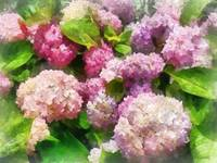 Pink and Lavender Hydrangeas