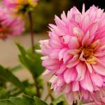 """Pink Chrysanthemum"" by OhlmanExposed"