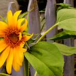"""Sunflower and Picket Fence"" by OhlmanExposed"