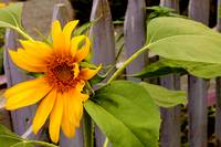 Sunflower and Picket Fence