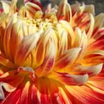 Dahlia Floral Orange Dahlias Flowers art prints