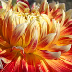 """Dahlia Floral Orange Dahlias Flowers art prints"" by BasleeTroutman"