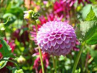 Dahlia Purple 18M Dahlias Flowers art prints garde