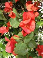 Red flowers and leaves