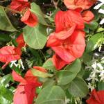 """Red_flowers_Isabela_Dunklin_Italy_Nature"" by easyfigure"