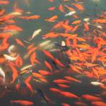 """Koi in Forbidden City Pond"" by Groecar"