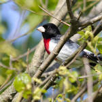 """Rose-breasted Grosbeak"" by WildAboutNaturePhotography"
