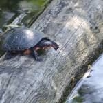"""Spotted Turtle"" by WildAboutNaturePhotography"