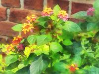 Lantana Against Brick Wall