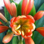 """Orange Spring Bloom"" by LindaLarsen"