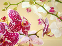 Orchid Flowers art prints ORCHIDS floral