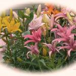 """""""RAINBOW OF LILIES"""" by shaynaphotography"""