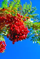 The Red Berries of Autumn