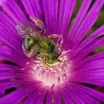 """Sweat Bee on Ice"" by PronghornPix"