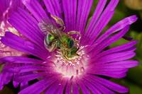 Sweat Bee on Ice