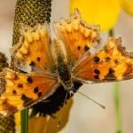 """""""Hoary Comma Butterfly"""" by PronghornPix"""