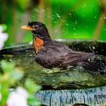 """Splash ! American Robin in the Bird Bath"" by ROBERTSCOTTPHOTOGRAPHYY"
