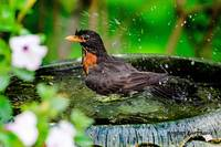 Splash ! American Robin in the Bird Bath