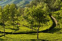 Tea fields of Munnar