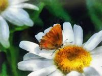 Skipper on a Daisy