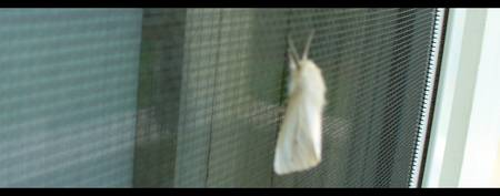 The White Moth