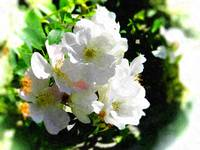 white blossom oil