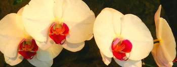 white orchids oil