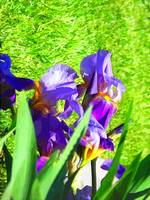 purple iris cartoon 1