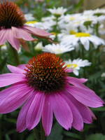 Coneflower with Daisy Flowers