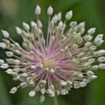 """Leeks Flowering"" by bavosiphotoart"
