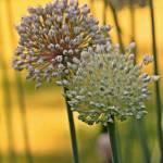 """""""Leeks Flowers"""" by bavosiphotoart"""