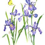 """Wild Iris Neighbors"" by Sharon_himes"