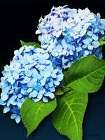 Flowers - Blue Hydrangea Profile