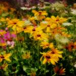 """Brown-eyed Susan"" by beckybarnhardt"