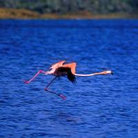 """Flamingo Walking On Air"" by Joao Ponces De Carvalho"