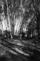 Tree Shadows B&W