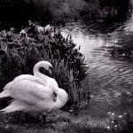 """Swans"" by kirahagen"