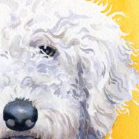 Labradoodle White Art Prints & Posters by David Rogers